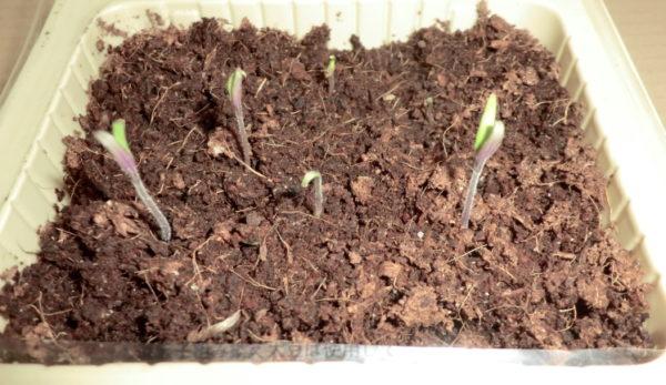 トマトの種の発芽