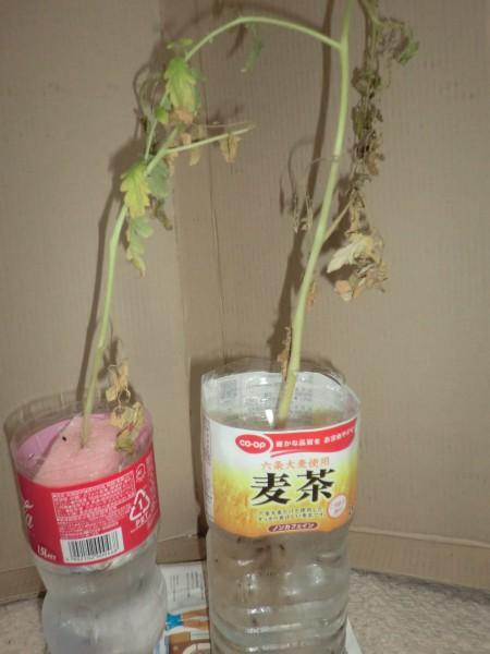 ペットボトルによるトマトの水耕栽培