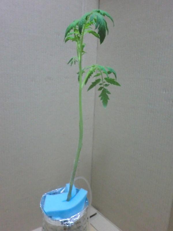 葉を切り落としたトマトの苗